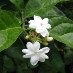 The National Flower Of The Philippines Sweet & Fragrant