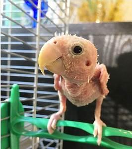 Nu Comme Un Ver : voici rhea l 39 adorable petit perroquet sans plumes ~ Medecine-chirurgie-esthetiques.com Avis de Voitures