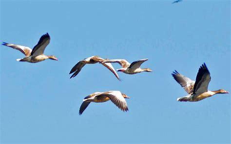 hokersar  heaven  migratory birds