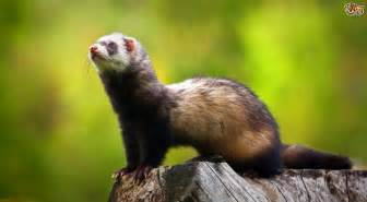 pole cat the differences between a european polecat and a domestic