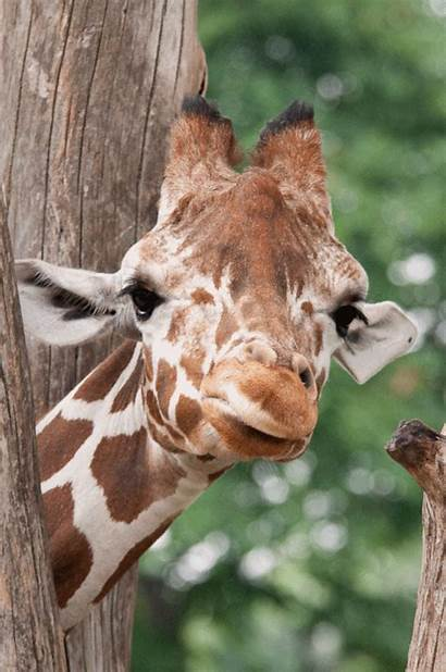 Giraffe Giphy Gifs Scroll Animals Invented Imgur