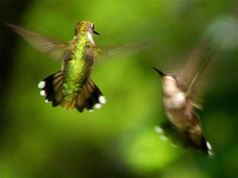 hummingbirds fighting by fred baird