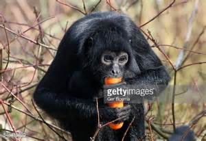 Spidermonkey Eating A Carrot Stock Photo | Getty Images