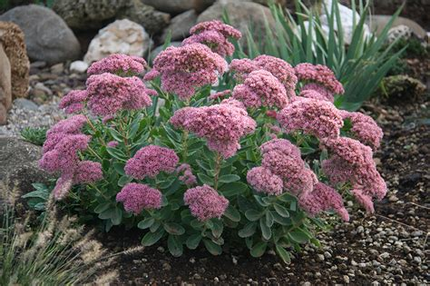 piante da fiore perenni resistenti al gelo catalogo piante perenni e graminacee vivaio con vendita