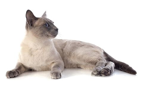 Siamese Cat Names  55+ Awesome Names For Your Cat