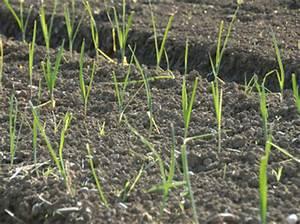 Feldsalat Setzlinge Pflanzen : wegwarte ~ Frokenaadalensverden.com Haus und Dekorationen
