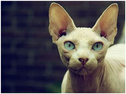 Sphynx Cat Cats Eyes Hairless Kitty Wallpapers