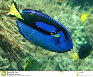 BLue exotic tropical fish stock photo. Image of reef ...