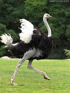 Ostrich Running Wpz P7238003r3