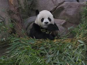 The Cutest Baby Panda In The World