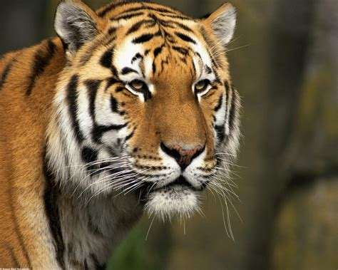 Tiger Photo by Curious Cat Siberian Tiger Wallpapers Hd Wallpapers