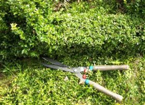 buchsbaum schneiden starker r 252 ckschnitt im april krankheiten pflege beginnender austrieb