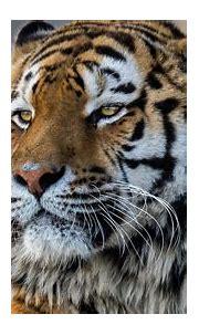 3840x2160 Tiger Closeup 4k 4k HD 4k Wallpapers, Images ...