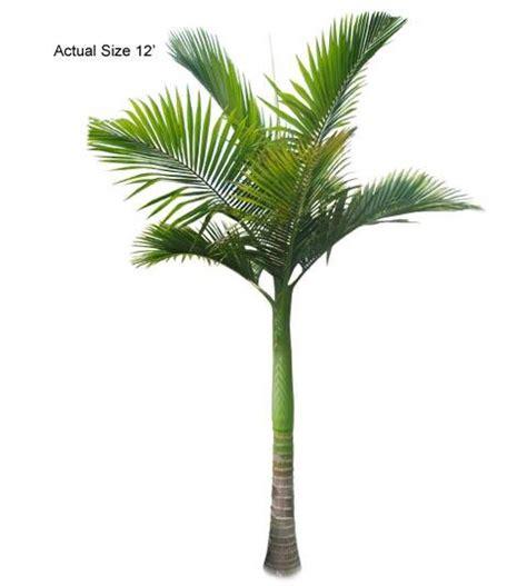 king palm tree archontophoenix alexandrae large