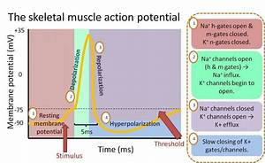 17  Skeletal Muscle Action Potential