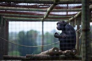 Why the caged animal yawns: Photographer captures the tame ...