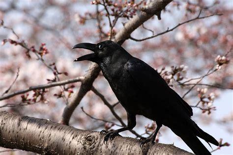 canap h et h corbeau à gros bec wikipédia