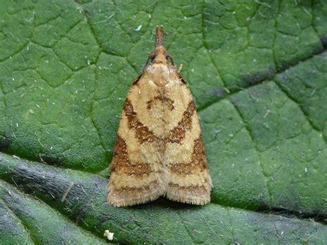 https://www.ukmoths.org.uk/species/sparganothis-pilleriana/male/