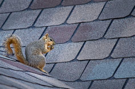 Are Squirrels Living Your Attic Houseman Pest