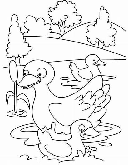 Coloring Gambar Bebek Mom Mewarnai Duck Swim