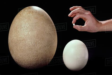 Comparisons Of A Hummingbird Egg, Ostrich Egg, And