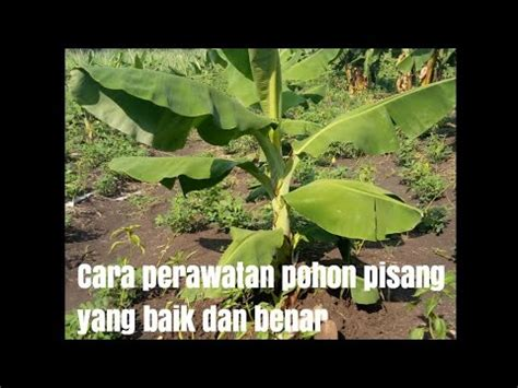 tips perawatan pohon pisang  baik  benar