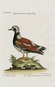 Morinellus Canadensis From George Edwards Seligmann