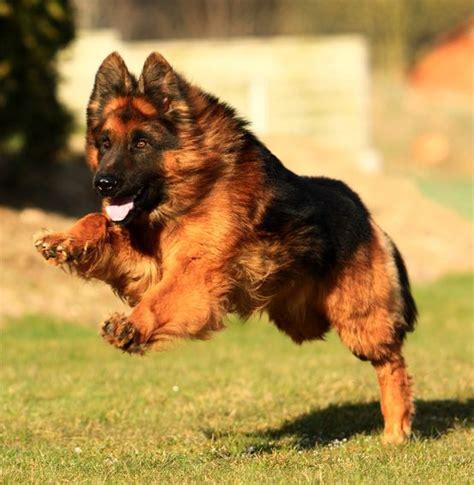 altdeutscher schaeferhund ideas  pinterest