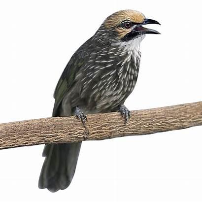 Cucak Rowo Grd Burung Suara Anakan Ciri