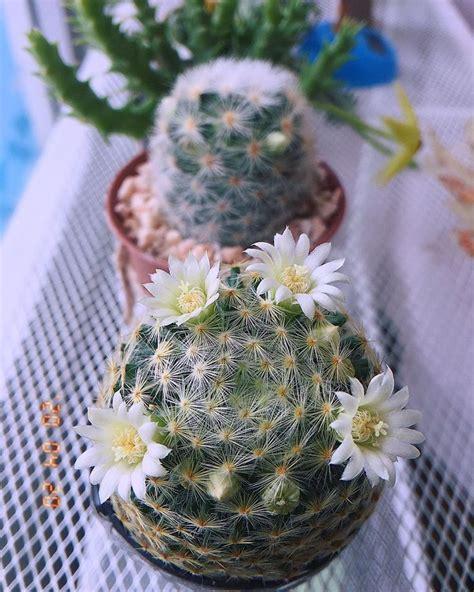ขี้หวง #แคคตัส #กระบองเพชร #cactus ในปี 2020