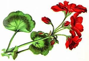 Geraniums Clipart | Free Download Clip Art | Free Clip Art ...