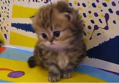Persian Kitten Adorable Cats Cutest Persia Ever