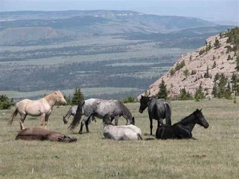 wild horses horse mountain pryor herd mustang mustangs montana range slaughter blm mountains herds peoples buffalo state wikipedia alberta national