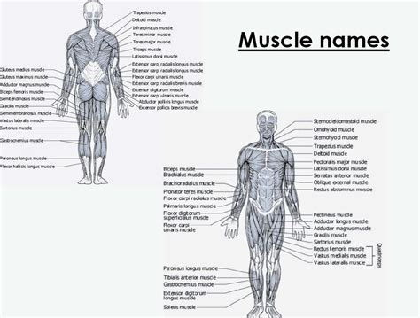 See more ideas about muscle anatomy, anatomy and physiology, human anatomy. reducefatfast: June 2014