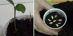 Planter Un Citronnier : planter un citronnier chez vous partir de quelques ~ Melissatoandfro.com Idées de Décoration