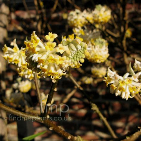 flower encyclopedia plants e edgeworthia page 1