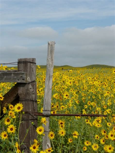 sunflower explosion   nebraska sandhills nature