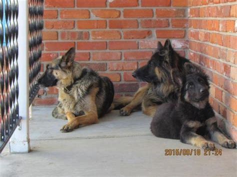 german shepherd purebred puppy male colorado amo americanlisted
