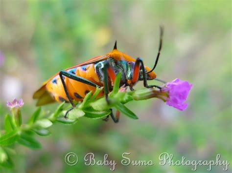 baby sumo photography red insect stink bug  black