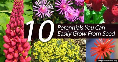 easy growing perennial flowers 10 perennials you can easily grow from seed