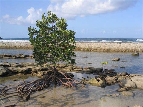 Mangrove Wiktionary