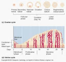 Uterine Wall Shedding During Menstruation by Describe The Phases Of The Uterine Cycle Lifeeasy