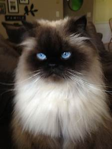 Himalayan cat ~ Beautiful | HERE KITTY KITTY | Pinterest