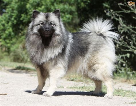 dogs that dont shed keeshond keeshond breed information buying advice photos and
