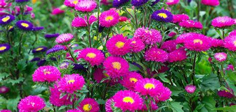 Astern Pflanzen Und Pflegen by Astern Pflanzen Pflege D 252 Ngen