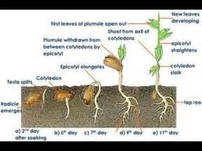 comment choisir et faire germer les graines de cannabis selon la vari 233 t 233