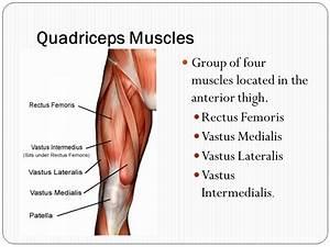 Where Are The Quadriceps Located - Anatomy