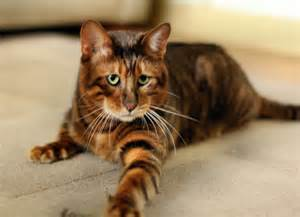 cat that looks like a tiger five cat breeds for the yuppie associate attorney greedy