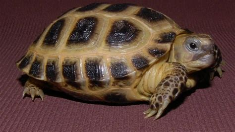 5 cool Facts About Russian Tortoises - YouTube