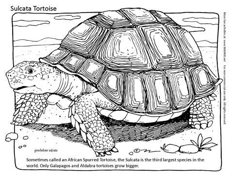 tortoise color tortoise coloring page sometimes called an